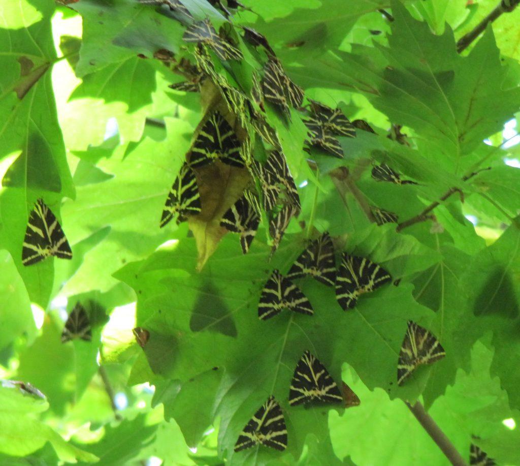 Přástevníci na listech - Rhodos Údolí motýlů