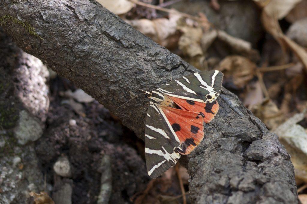 Přástevník kostivalový v Údolí motýlů Rhodos